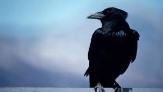 corvo_3052